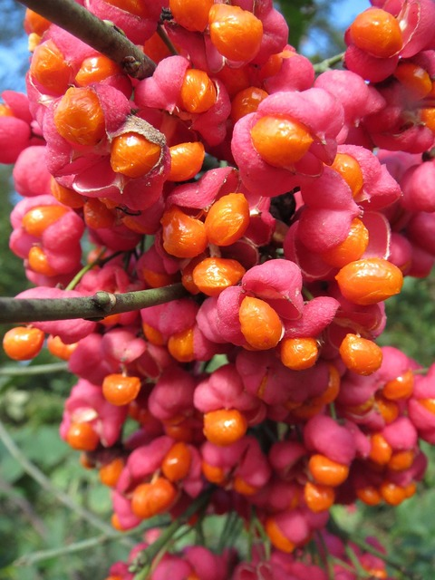 Euonymus europaeus spindle european spindle, food drink.