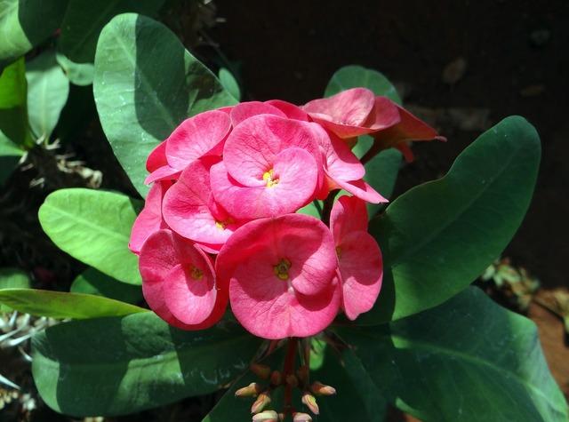 Euphorbia pink flower.
