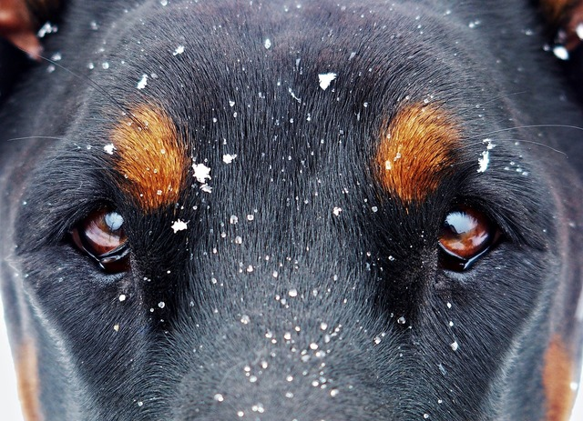 Eyes and the snow flakes doberman snow, animals.
