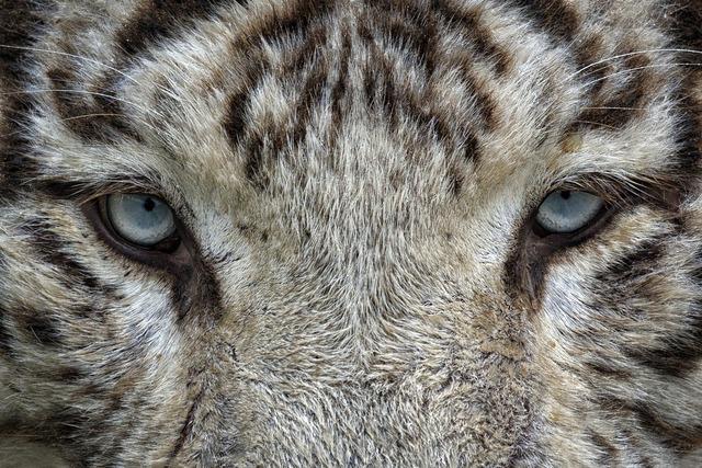 Eyes white tiger tiger, animals.