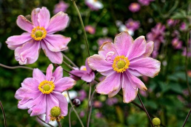 Fall anemone anemone hupehensis anemone.