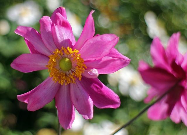 Fall anemone garden plant bloom.