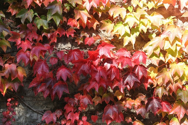 Fall color leaves wine.