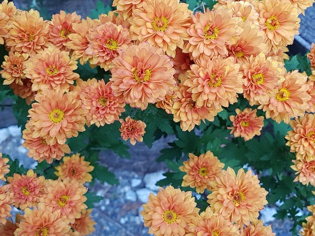 Fall flowers chrysanthemum flower wallpaper.
