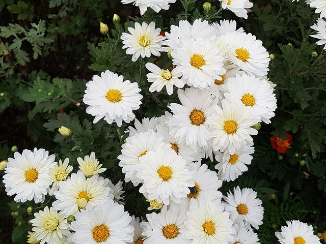 Fall flowers chrysanthemum flowers.