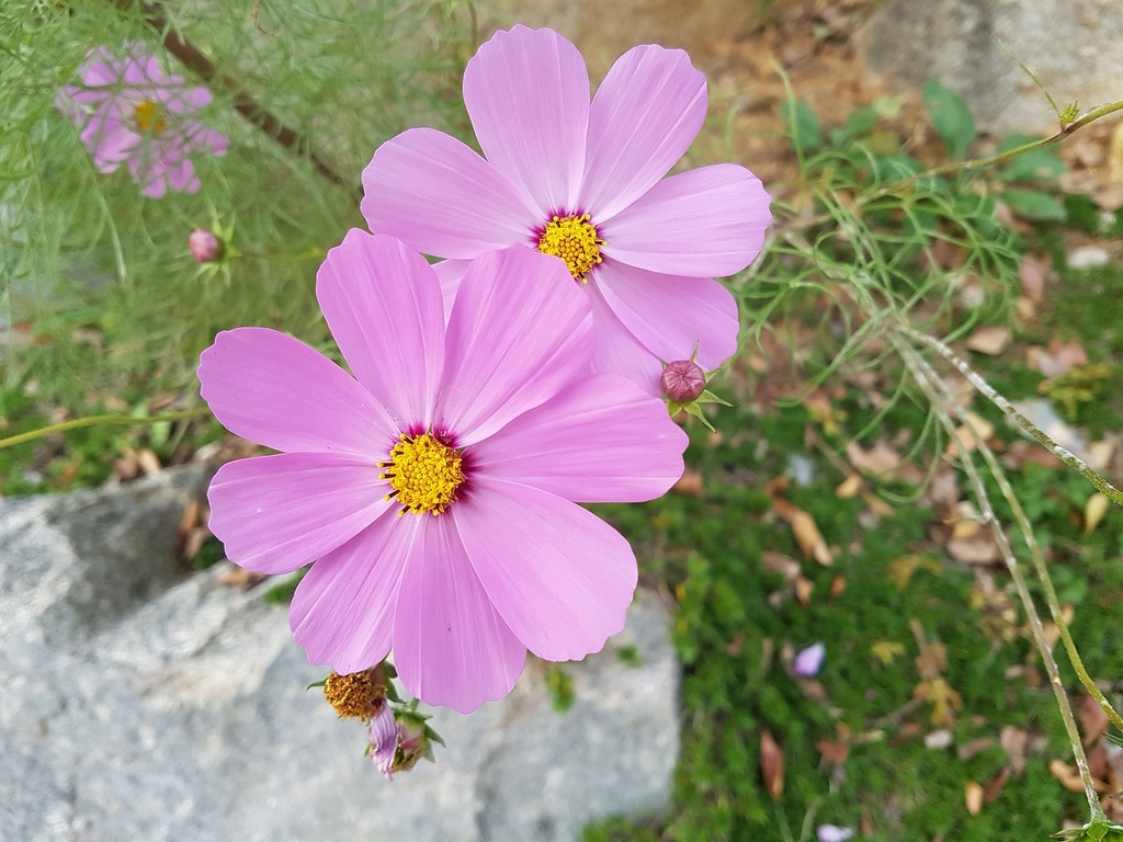 Fall flowers cosmos flowers, nature landscapes.