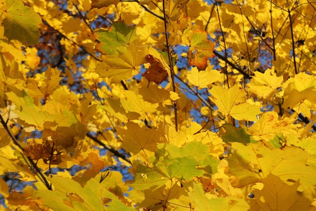 Fall foliage colorful yellow, nature landscapes.