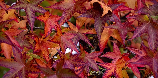 Fall leaves sweetgum, nature landscapes.