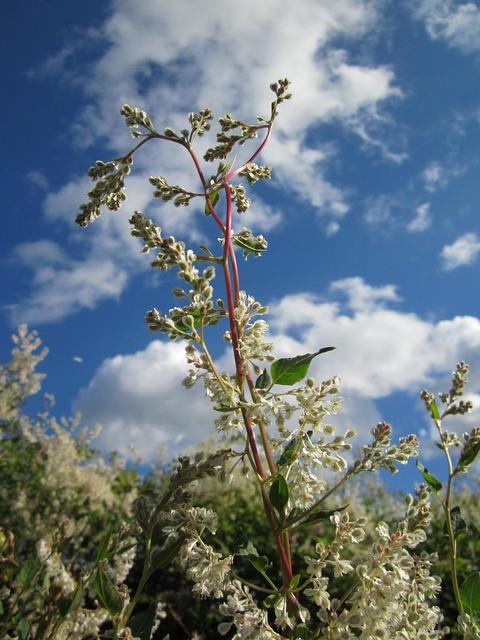 Fallopia baldschuanica russian vine bukhara fleeceflower, nature landscapes.