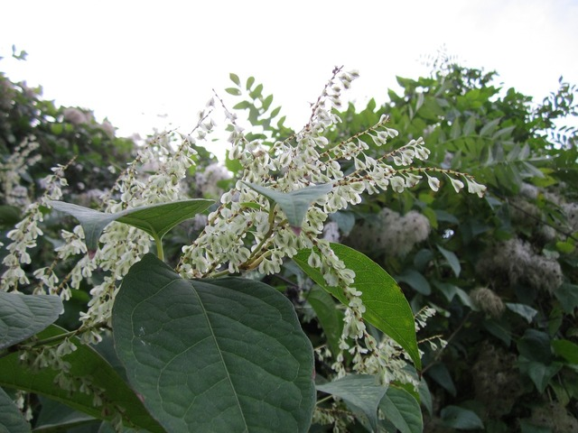 Fallopia japonica japanese knotweed wildflower, nature landscapes.