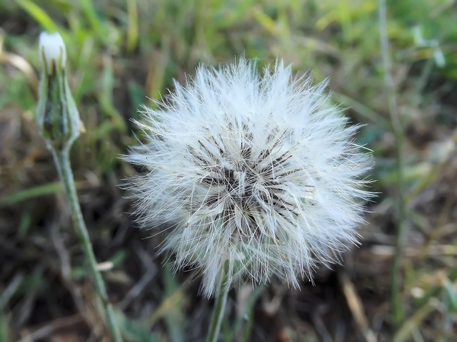 False dandelion hawkweeds hawkbeards, nature landscapes.