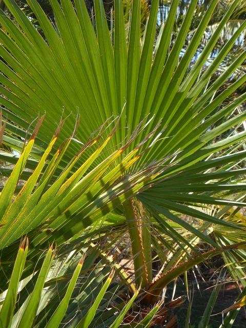 Fan palm palm palm leaf, nature landscapes.