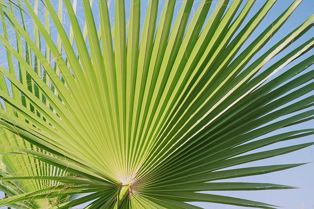 Fan palm palm palmately divided, nature landscapes.