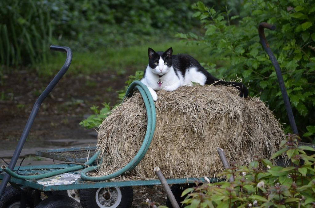 Feline cat pet, animals.