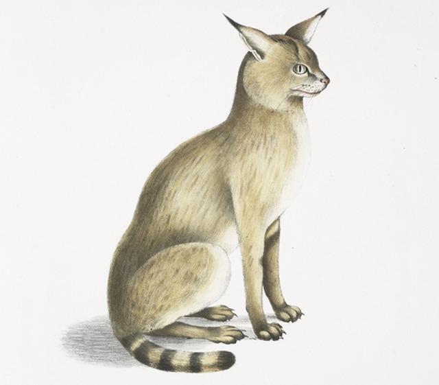 Felis chaus affinis himalayan jungle cat cat sitting.