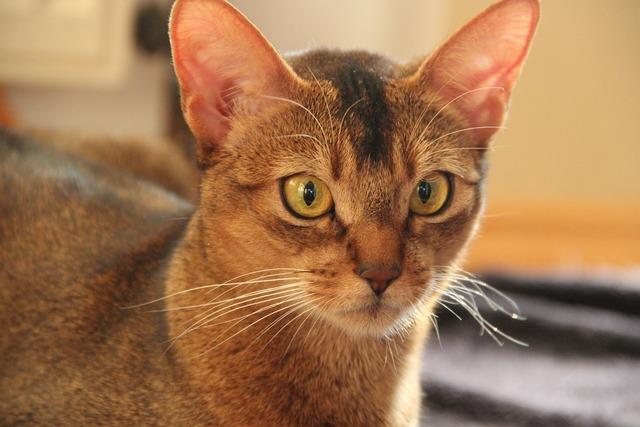 Female cat small, animals.