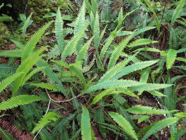 Fern plant native, nature landscapes.