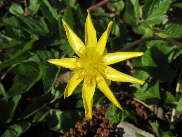 Ficaria verna lesser celandine ranunculus ficaria, nature landscapes.