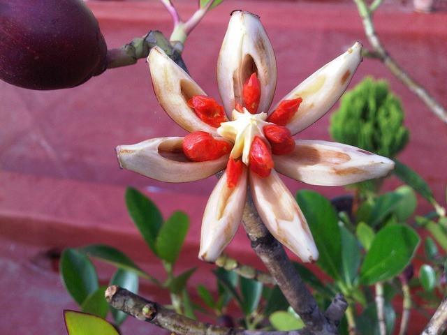 Ficus fruit star, food drink.