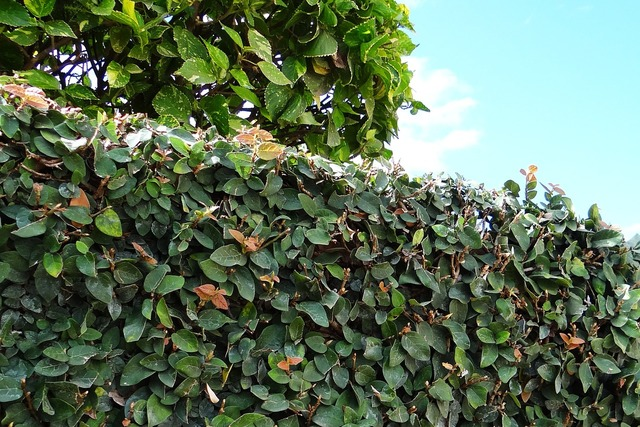Ficus pumila creeping fig climbing fig, nature landscapes.