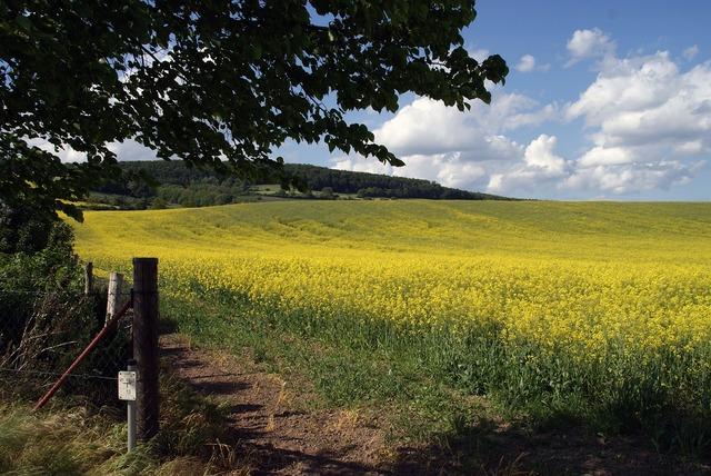 Field of rapeseeds oilseed rape field, nature landscapes.