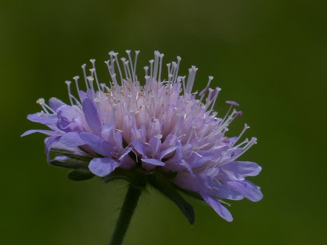 Field scabious blossom bloom, nature landscapes.