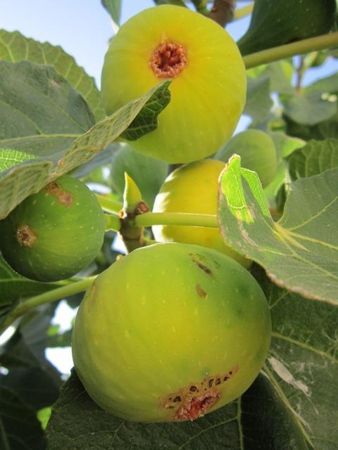 Fig fig tree real coward, food drink.