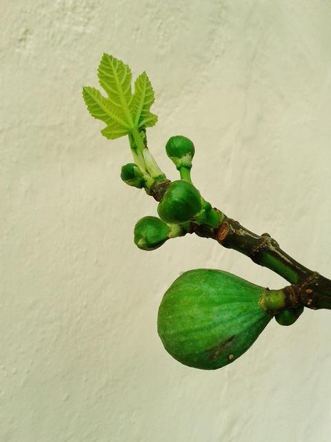 Fig fruit figs, food drink.