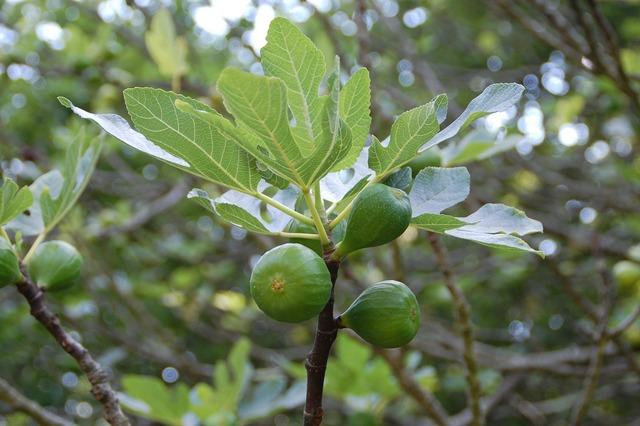 Fig fruit south, food drink.