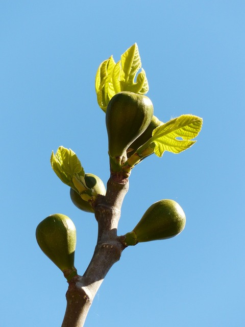 Figs fig tree fruits.