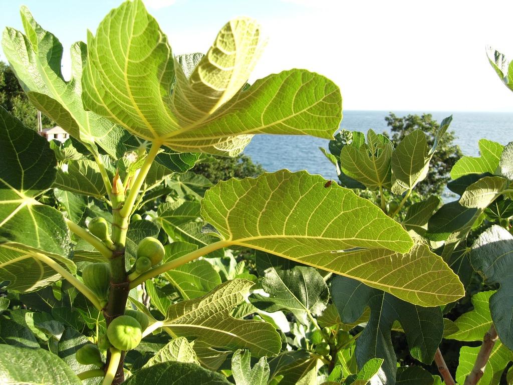 Figs fruit real coward, food drink.