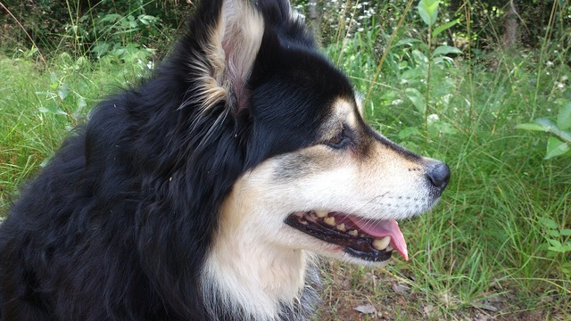 Finnish lapphund dog tip, animals.