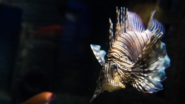 Fish lionfish exotic.