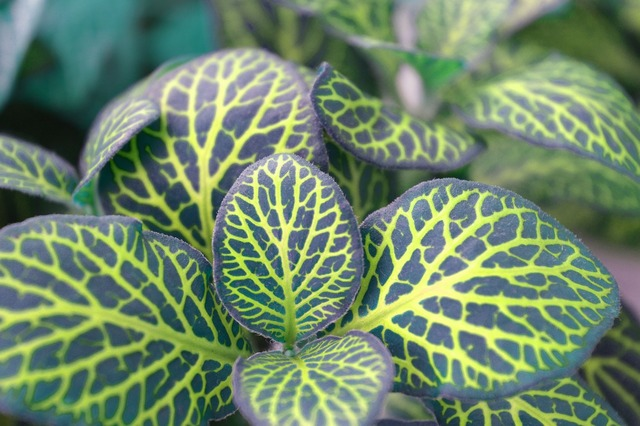 Fittonia variegated leaves indoor plant, nature landscapes.