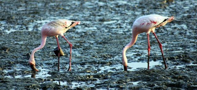 Flamingos birds eating.