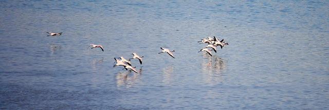 Flamingos birds india.