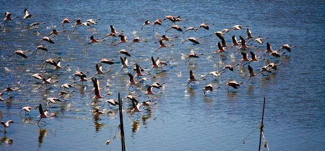 Flamingos flying lift off, animals.