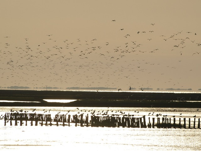 Flock of birds wadden sea evening sky.
