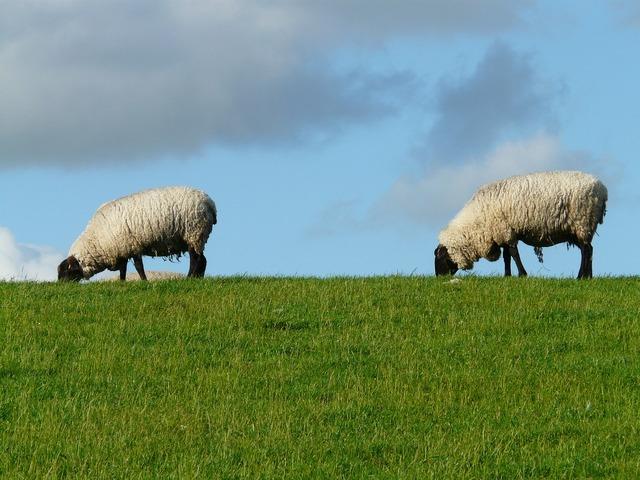 Flock of sheep sheep pair, nature landscapes.