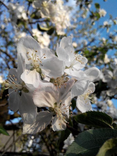 Flower apple tree bloom, nature landscapes.