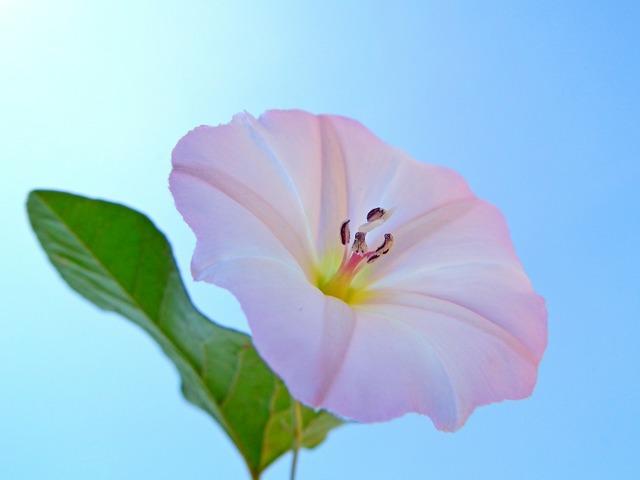Flower bindweed white.