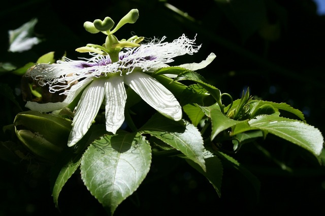 Flower bloom granadilla.