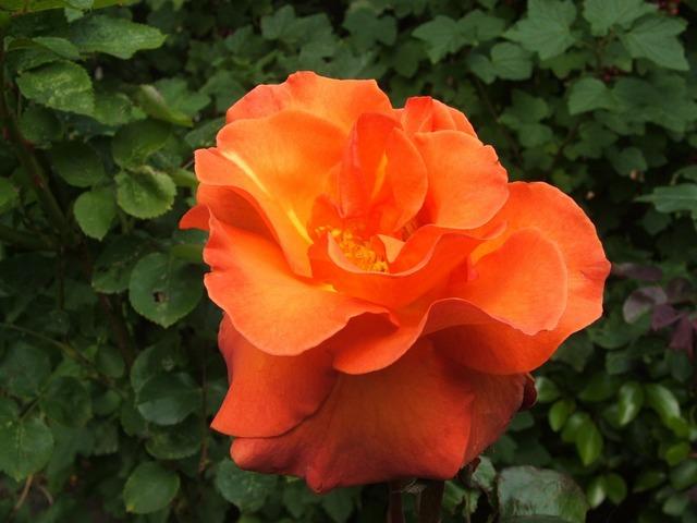 Flower flowers orange flower, nature landscapes.