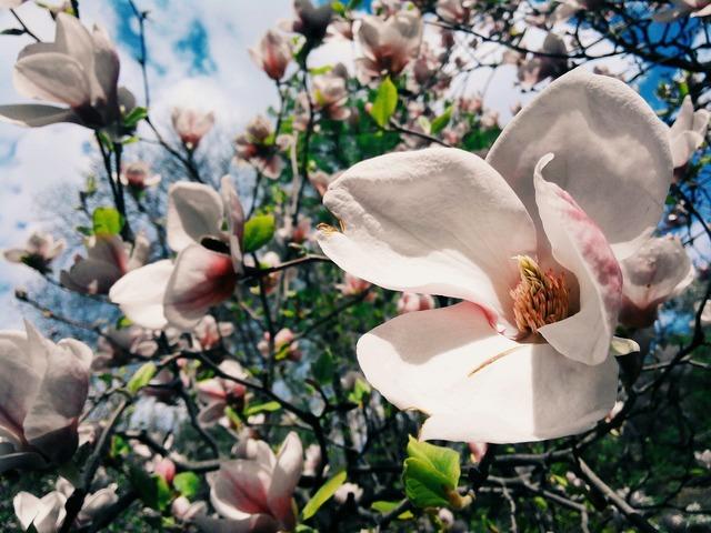 Flower magnolia bloom, nature landscapes.