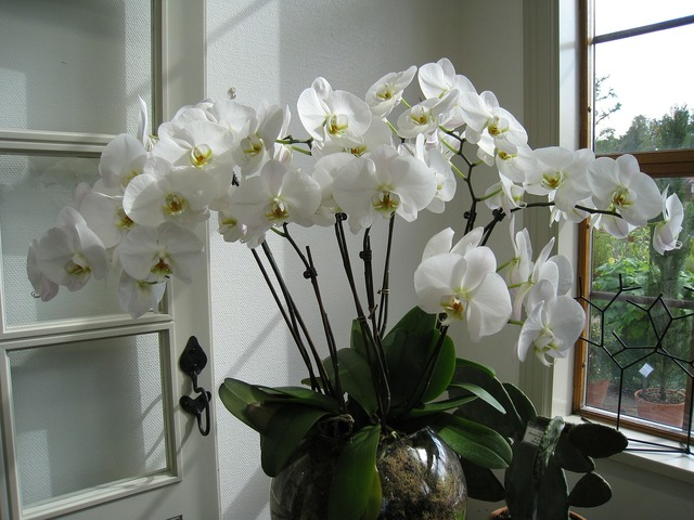 Flower orchide potted plant.