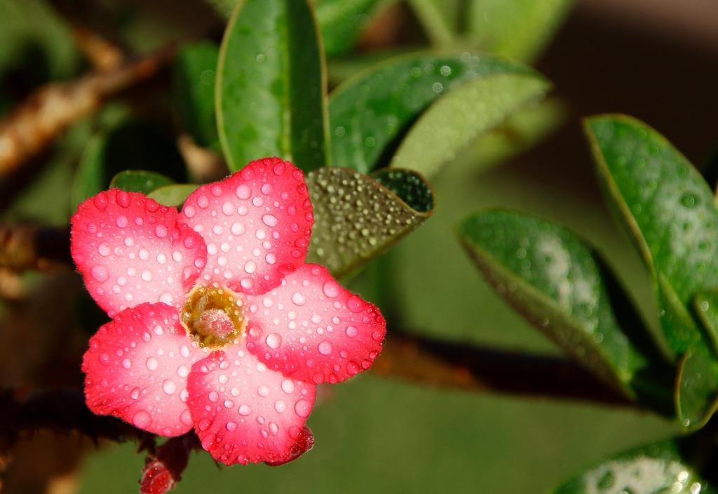 Flower rosa desert, nature landscapes.