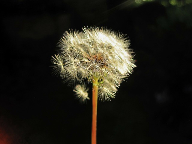Flower seedhead dandelion, nature landscapes.