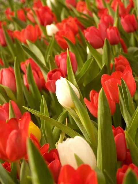 Flower tulip holland, nature landscapes.