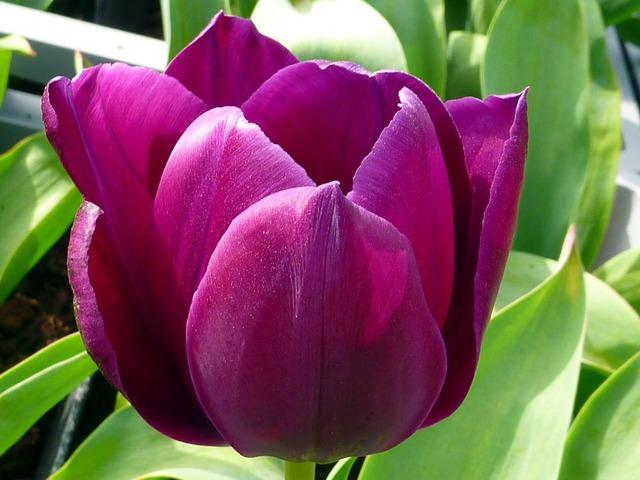 Flower tulip violet.