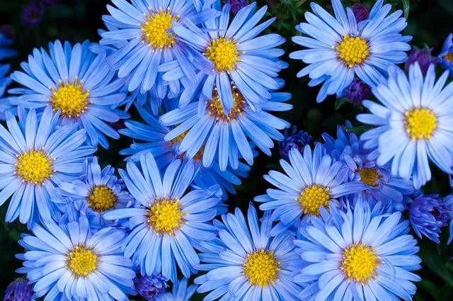 Flowers asters blue, nature landscapes.